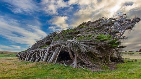 Кривые деревья на склоне Slope Point,Новая Зеландия