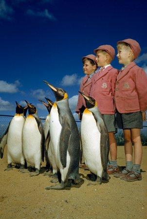 Школьники фотографируются с королевскими пингвинами в Лондонском зоопарке, 1953 год