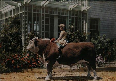 Ребенок сидит на быке Херефордской породы, Калифорния, 1926 год
