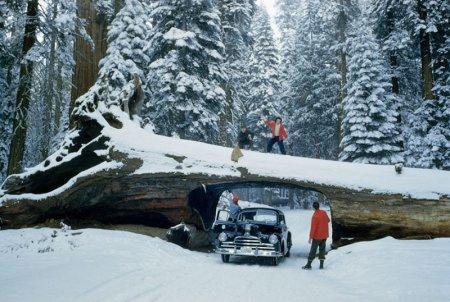 Туристы обнаружили в Национальном парке «Секвойя» огромное поваленное дерево с вырезанным в стволе туннелем, 1951 год