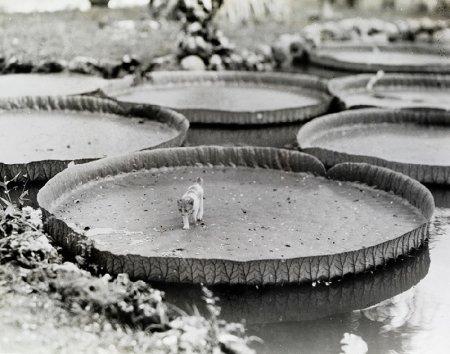 Котенок и водяные лилии, Филиппины, 1935 год
