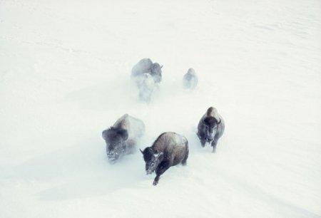 Американские бизоны пробираются сквозь снежную бурю в Йеллоустонском национальном парке, 1967 год