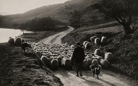 Пастух гонит стадо овец, Шотландия, 1919 год