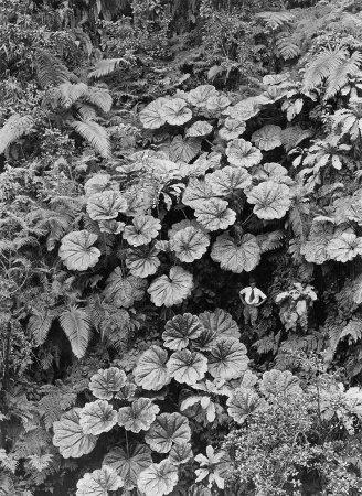 Мужчина под гигантскими листьями гуннеры, Гавайские острова, 1924 год