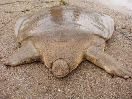 Гигантская трехногая черепаха