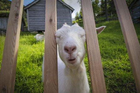 смешная коза