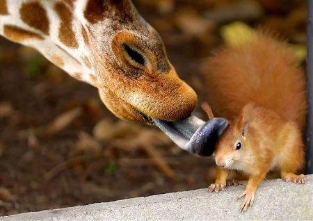 белка и жираф