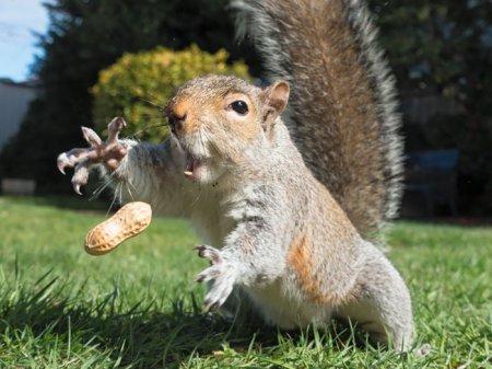 белка ловит арахис