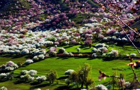 абрикосы в цвету