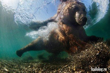 медведь под водой