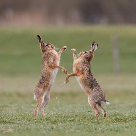 Зайцы-русаки в рукопашном бою за обладание самкой.