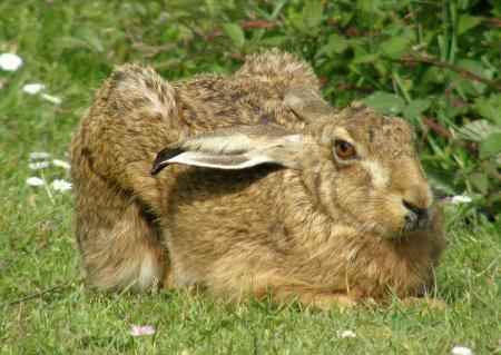 Заяц-русак (Lepus europaeus).