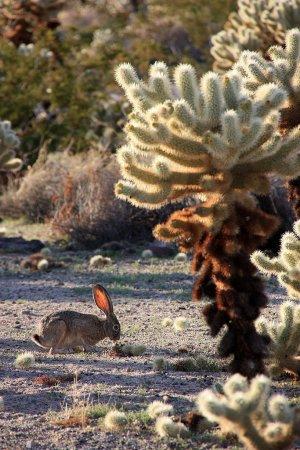 Это чернохвостый, или калифорнийский заяц (Lepus californicus), а вовсе не представитель кроликов, которые тоже широко распространены в Америке.