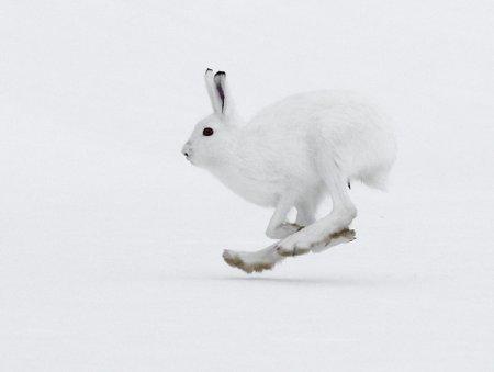 У зайца-беляка подошвы лап особенно широкие. Такие «снегоступы» позволяют зайцу-беляку быстро бегать даже по глубокому снегу.