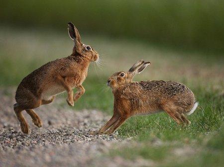 Брачные игры зайцев-русаков.