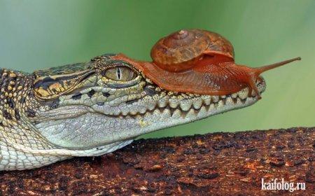 крокодил и улитка