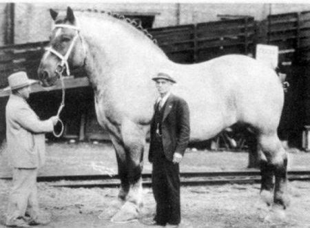 Самая большая лошадь в мире, 1928