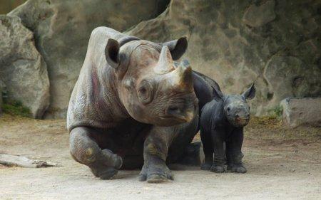 Детеныш редкого черного носорога