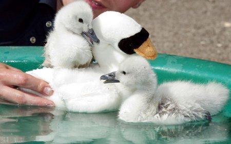 Пара детенышей лебедей