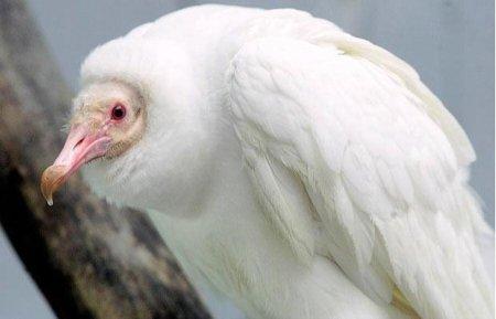 гриф-урубу альбинос