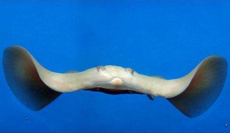 скат-альбинос