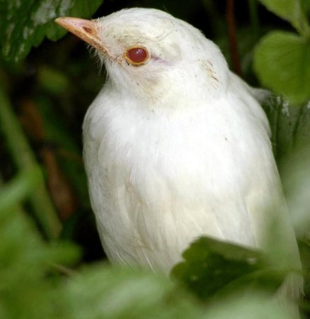 дрозд-альбинос