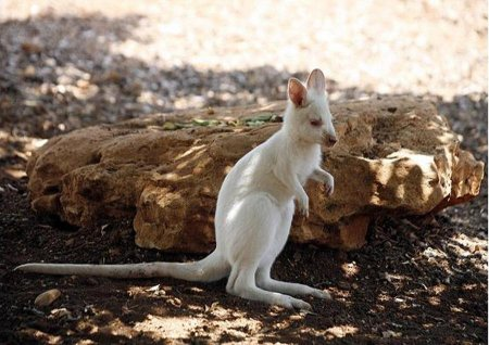 валлаби-альбинос